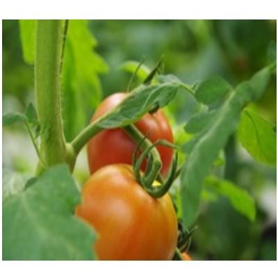 フルーツトマト「恋のつぼみ」プレミアム1kg箱