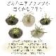 花のギフト社 エアプランツ ティランジア 皿付き 観葉植物 ギフト グリーン インテリア プレゼント