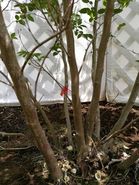 【落葉樹】 ヒメシャラ 株立 2.0m程度(根鉢含まず) rsh20-59