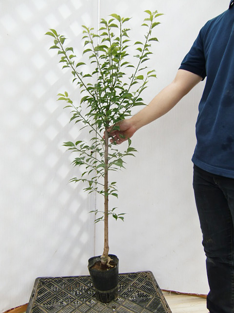 【産地直送】種の小さい豊産生。味もしっかり! 「甲州小梅(こうしゅうこうめ)」 樹高0.9m程度 2年生