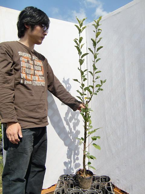 【産地直送】黄色いりんご!特有の芳香! 「王林」 樹高1.0m程度 2年生