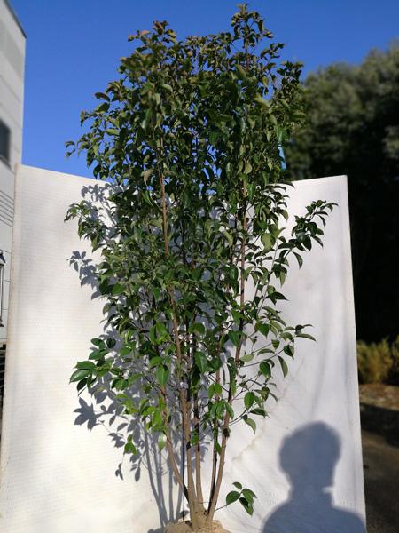 常緑ヤマボウシ「ホンコンエンシス」 本株立 2.0m程度(根鉢含まず) aps20-4