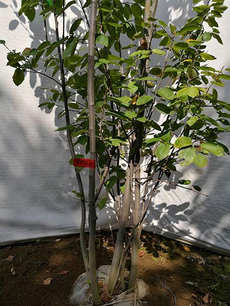 【落葉樹】ジューンベリー「ラマルキー」 株立 2.4m(根鉢含まず) rkk24-18