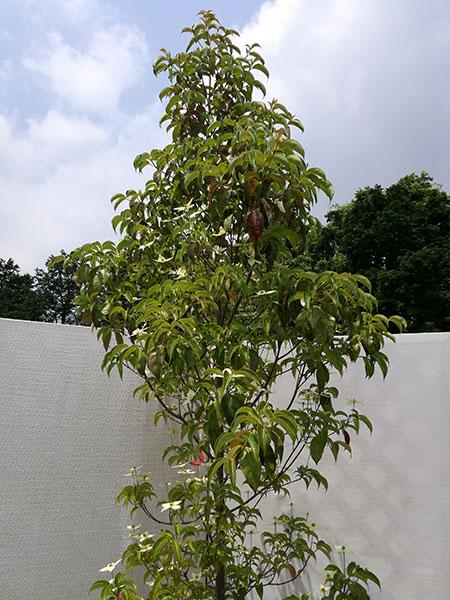 常緑ヤマボウシ「ホンコンエンシス」 単木 2.9m程度(根鉢含まず) jtd26-17