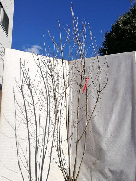 【落葉樹】アオダモ 株立 2.1m程度(根鉢含まず) dst21-20