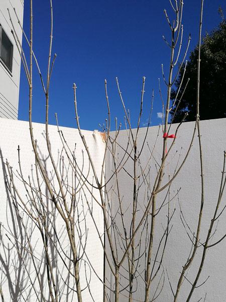 【落葉樹】アオダモ 株立 2.2m程度(根鉢含まず) dst22-23
