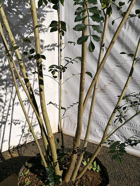 【常緑樹】【耐寒性の強い】 シマトネリコ 株立 1.8m程度(根鉢含まず) sos18-26