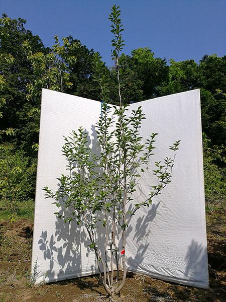 【落葉樹】ナツツバキ 夏椿 (別名 シャラ) 株立 2.2m(根鉢含まず) nsh22-37