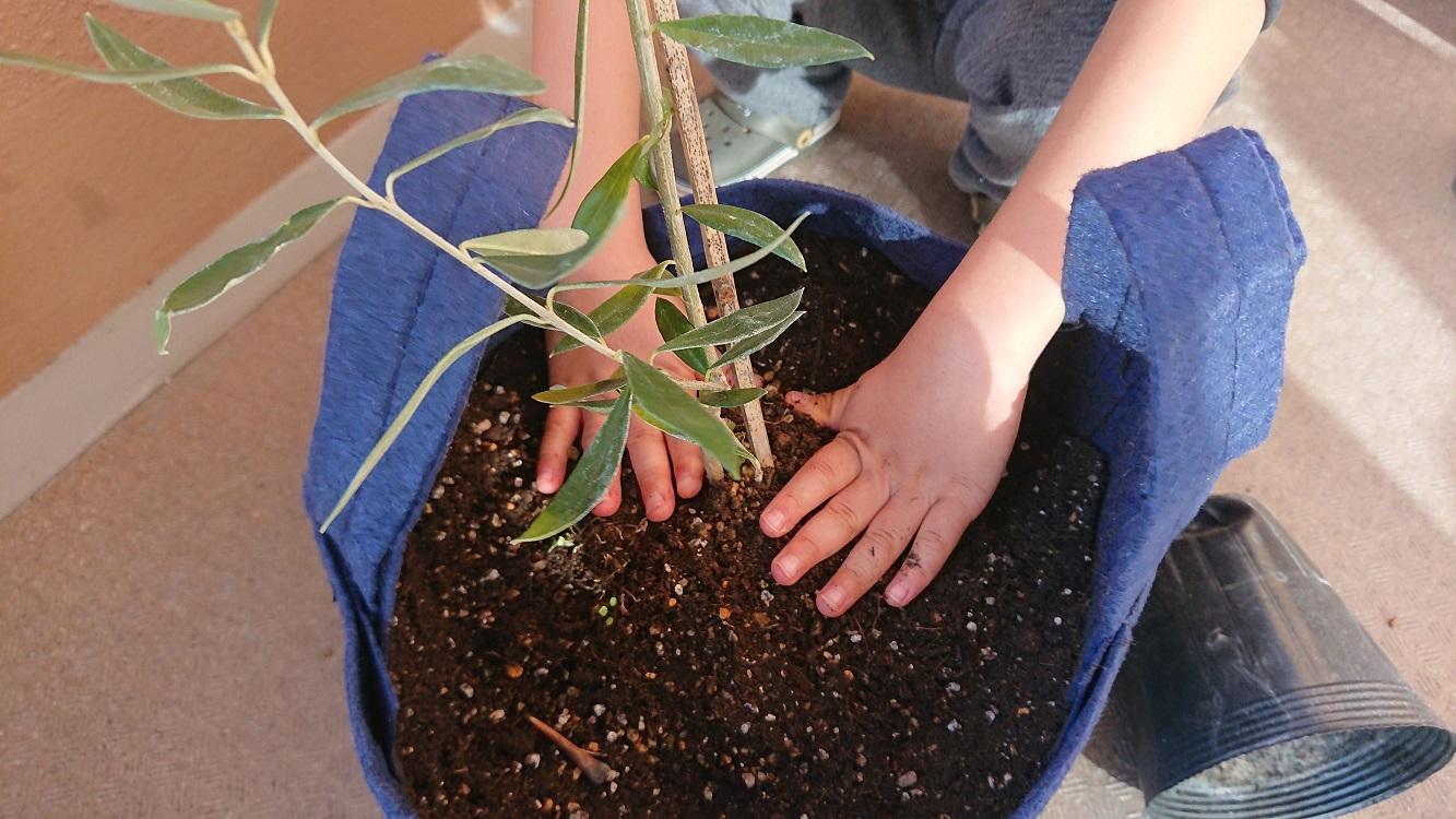 常緑の涼やかな雰囲気♪幸せを呼ぶ木 オリーブ鉢植えセット【送料無料】