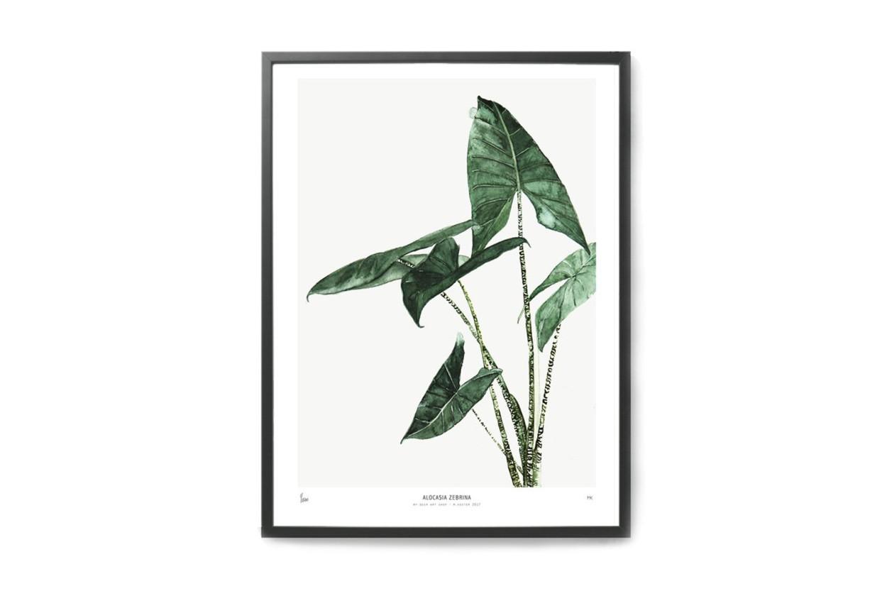 MY DEER ART SHOP ポスター/アートプリント 30×40cm BOTANICS / Alocasia Zebrina