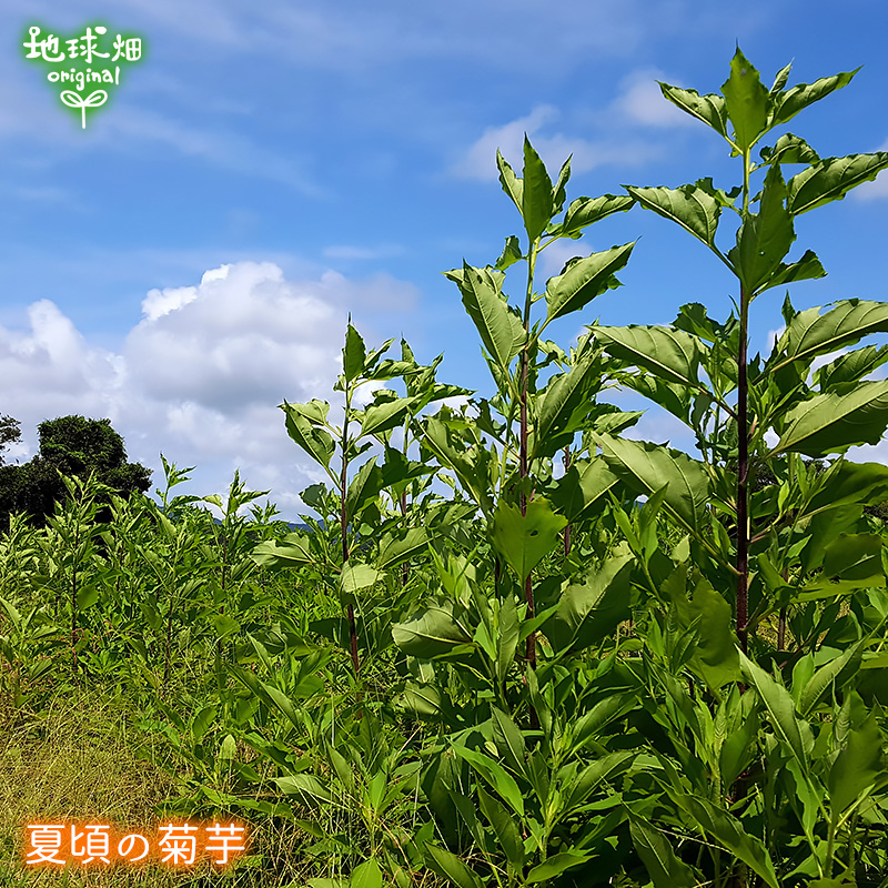 島子農園 菊芋コーヒーふ〜(ティーパック)