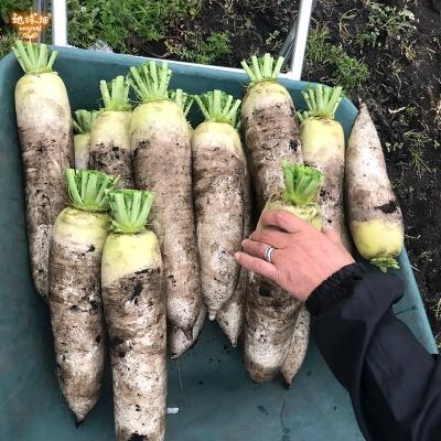 鹿児島県産 そのまま食べられる切干大根