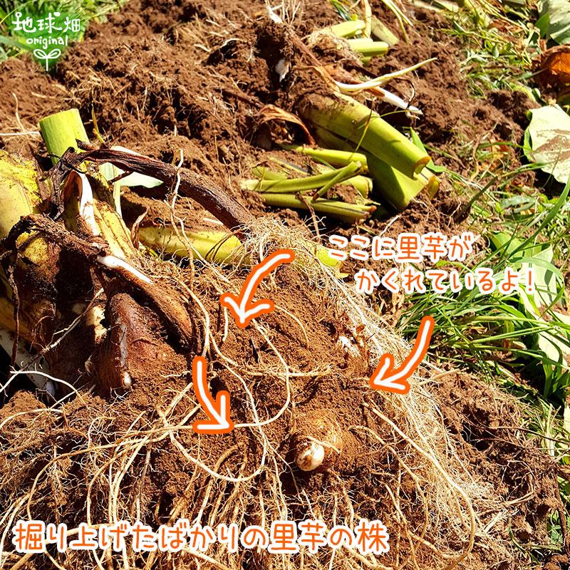 里芋(1個30g以上のMLサイズ)
