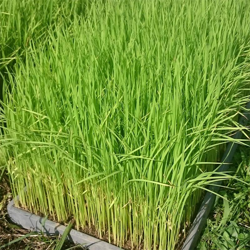 有機のお米(玄米)