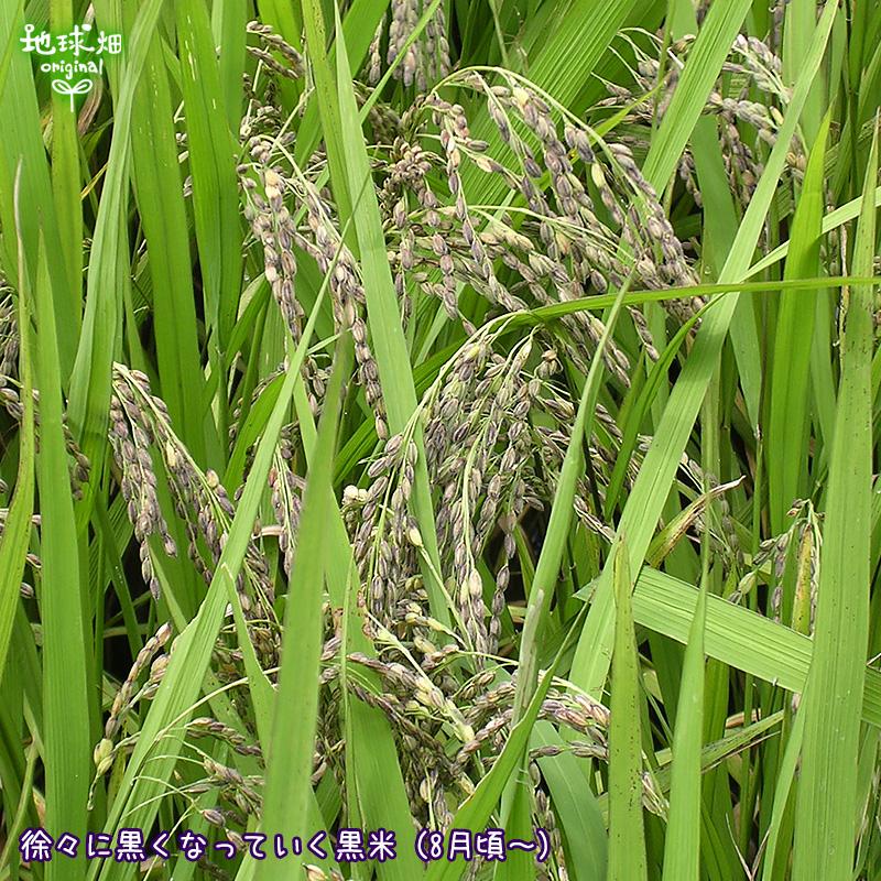有機のお米(黒米)