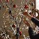 [大型送料1,650円]【3,600円OFF】 LEDブランチツリー ブラウン トールサイズ×レッドオーナメントSET RJXN3114BRRG  / SPICE OF LIFE