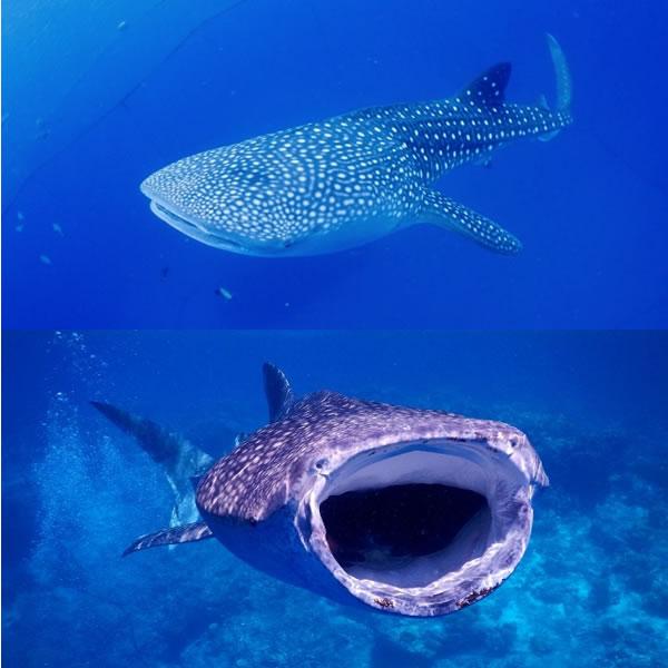 ジンベイザメ グッズ おもしろ tシャツ サメ 雑貨 鮫 オリジナル メンズ レディース S M L XL 3L 4L プリント 服 面白い 可愛い おしゃれ かわいい 魚 海
