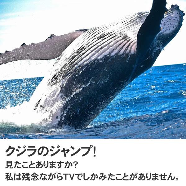 ザトウクジラ 置物 鯨 オブジェ くじら (クジラのジャンプ見たことありますか?) オーナメント クジラ ディスプレー 代金引換不可 ディスプレイ FRP制 リアル