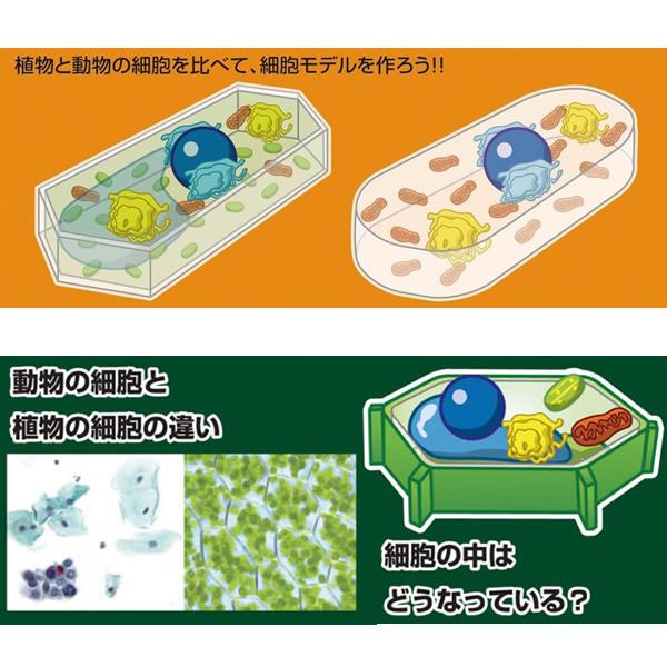 自由研究 キット 小学生 スライムで作ろう!細胞モデル 自由研究 夏休み 工作 自由工作 理科 実験 観察 【キッズ_知育_教材_自由研究_実験器具】