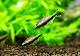 【熱帯魚】 エンペラーテトラ 30匹