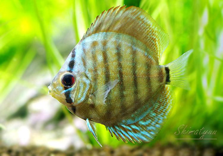 【熱帯魚】 コバルトブルー・ディスカス 5匹