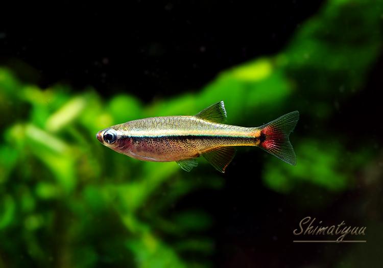 【熱帯魚】 ベトナム・アカヒレ WILD 1匹