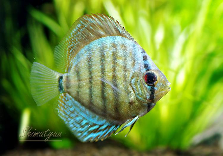 【熱帯魚】 コバルトブルー・ディスカス 1匹