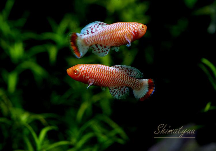 【熱帯魚】 ノソブランキウス ラコビー アルビノ 1Pr