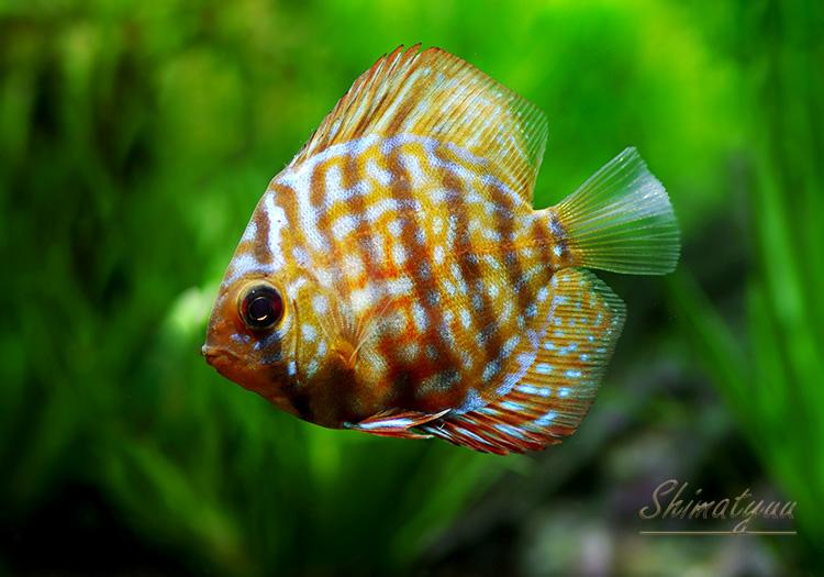 【熱帯魚】 レッドターコイズ・ディスカス 5匹