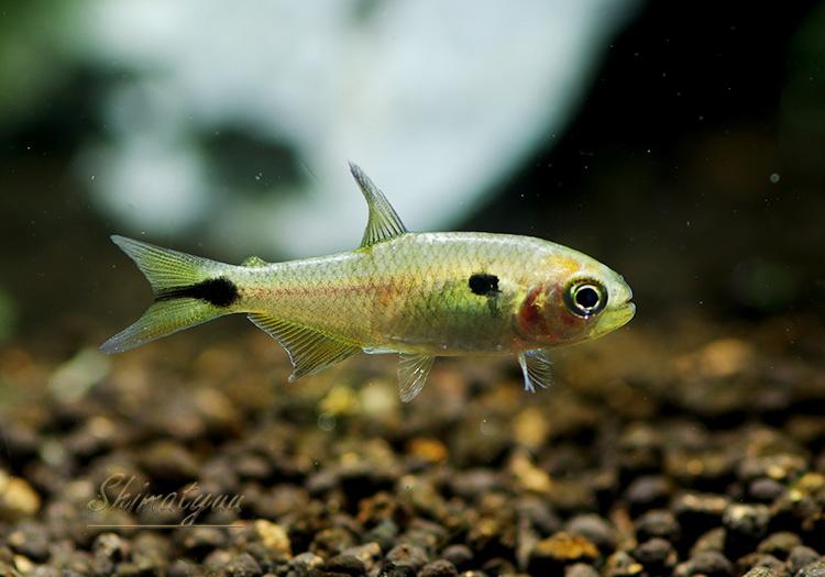 """【熱帯魚】 ハイフェソブリコン ランゲアニー WILD """"アルト・アラグアイア"""" 1匹"""
