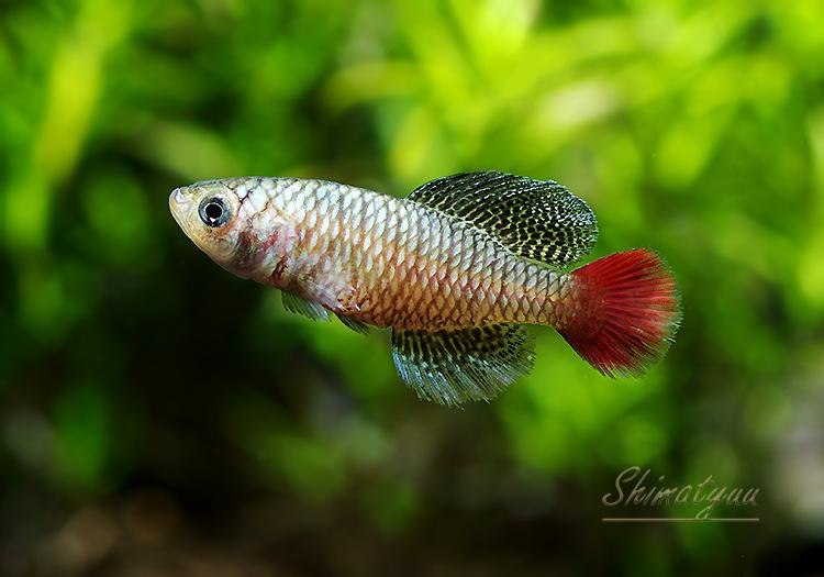 【熱帯魚】 ノソブランキウス パトリザイ 1Pr