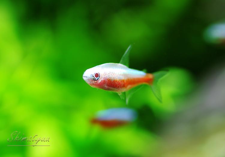 【熱帯魚】 アルビノカージナルテトラ  5匹