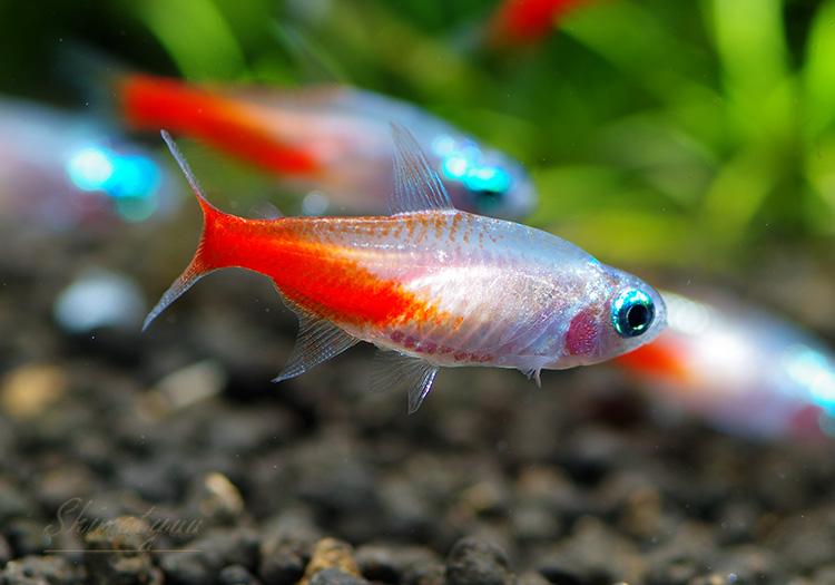 【熱帯魚】 ゴールデンダイヤモンドヘッド・ネオンテトラ 30匹