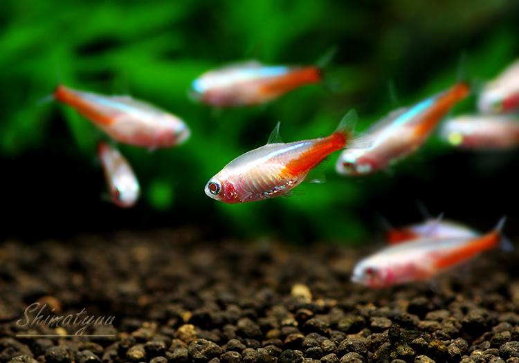 【熱帯魚】 アルビノネオンテトラ 5匹