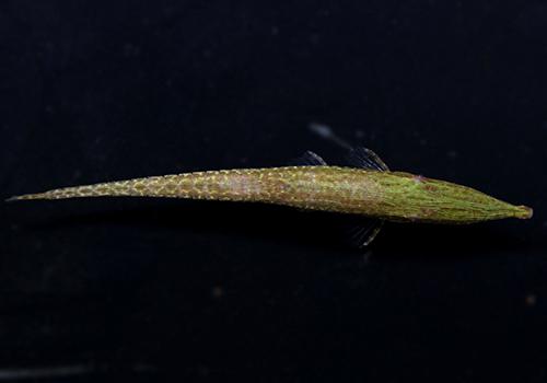 【熱帯魚】 グリーンファロエラ 3匹