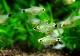 【熱帯魚】 キティ テトラ 5匹