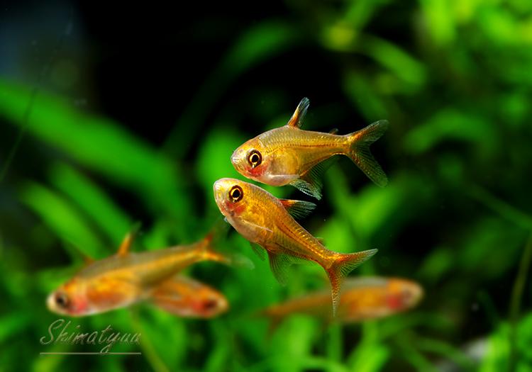 【熱帯魚】 レッド テトラ 5匹