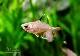 【熱帯魚】 ロージー テトラ 10匹