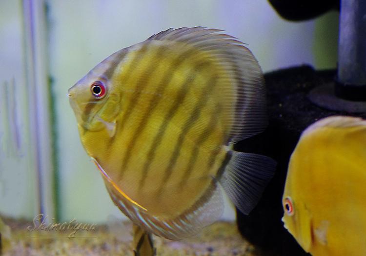 """【熱帯魚】 WILD カメタレッド・ディスカス """"Rio Tocantins""""(L)"""