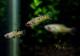 【熱帯魚】 ファルリクティウス ティコ  3Pr