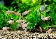 【熱帯魚】 ロージー テトラ 5匹