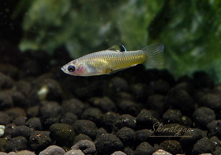 【熱帯魚】 ファルリクティウス ティコ  1Pr
