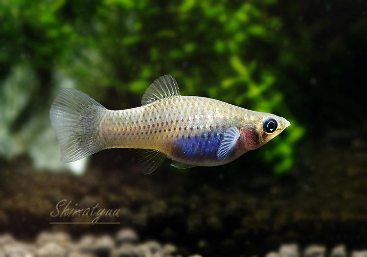 【熱帯魚】 ポエキリア メキシカーナ  1Pr