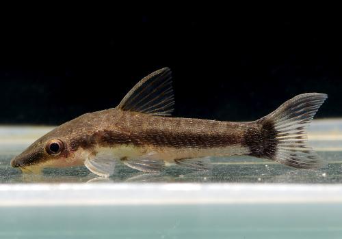 【熱帯魚】 オトシンクルス 5匹