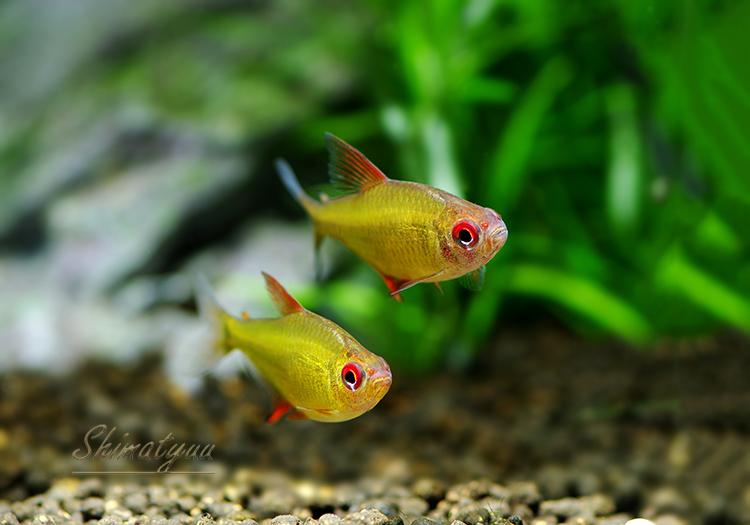【熱帯魚】 ボリビアン レモンテトラ WILD 3匹