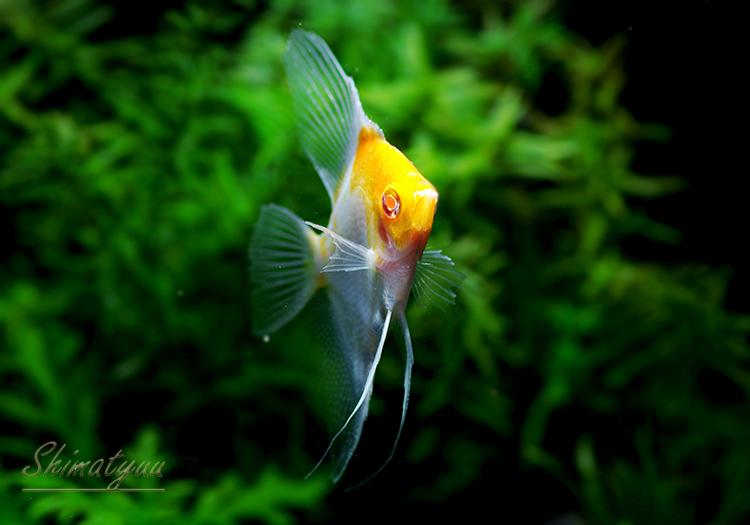 【熱帯魚】 レッドアイ レッドトップブラッシングエンゼル 5匹