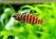 【熱帯魚】 タイガーバジス 1匹