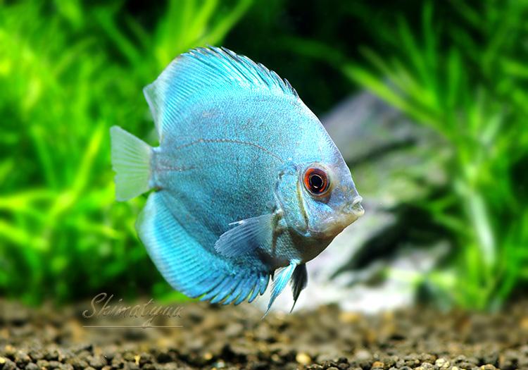 【熱帯魚】 ブルーダイヤモンド・ディスカス 3匹
