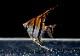 【熱帯魚】 レッドショルダーエンゼル サンタイザベル産 WILD 3匹