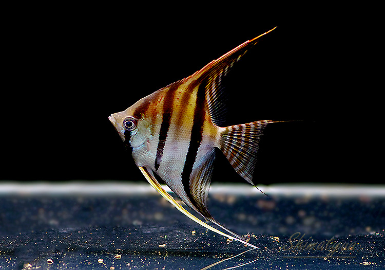 【熱帯魚】 レッドショルダーエンゼル サンタイザベル産 WILD 1匹